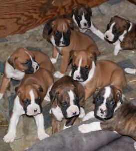 8 Purebred Boxer Puppies for sale