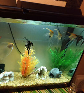 Angel fish, 10 each or all(6) for 45