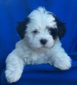 Need teacup sized poodlecross for therapy dog
