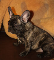 FRENCH BULLDOG PUPPIES! BULLDOG FRANCIAS
