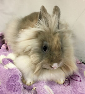 Cute baby bunnies, males and females.  Lop, lionhead and dwarf