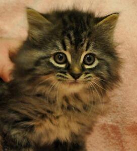 Beaux chatons à vendre