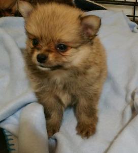 Tiny Pomeranian x Chihuahua