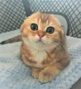 Scottish Fold - Black Golden Ticked Female Kitten