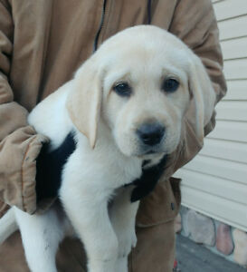 YELLOW LAB PUPPIES! Ready to Go!!