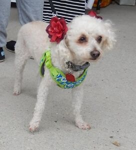 **Sweet Lulu Belle - POODLE cross is available for adoption****