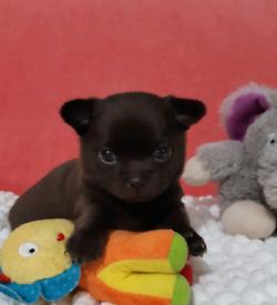Tiny chocolate chihuahua puppy