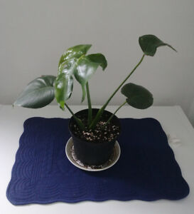 Rooted healthy Monstera Deliciosa / Swiss Cheese Plant