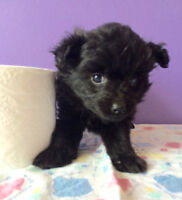 Teacup Pomeranian x Yorkshire puppies