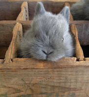 Pedigreed Purebred Netherland Dwarf kits--adorable baby bunnies