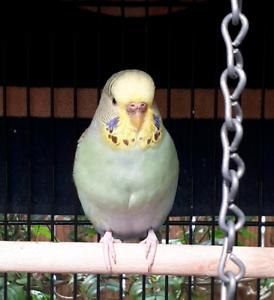 Budgie Lady Bird