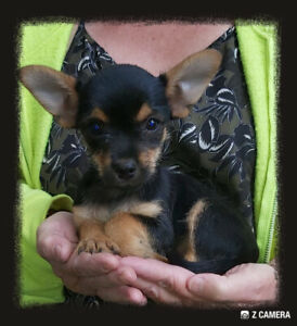 Chorkie Puppies Family Raised - Vet Approved