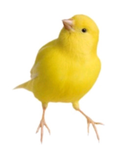 Looking for a Male canary