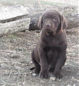Chocolate Lab Retriever Puppies - Registered