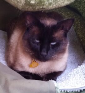 Lost Sealpoint Siamese Cat Zeus