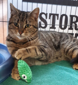 Severus - rescued brown tabby male for adoption
