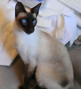 Chocolate Point Siamese -  Male