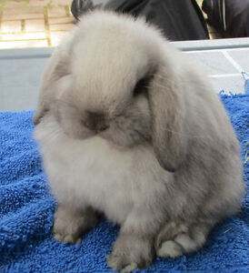 Young Holland Lop