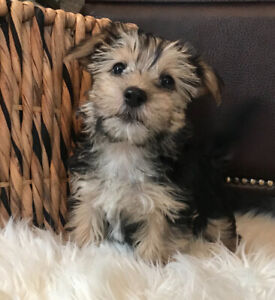 Maltese Adopt Dogs Puppies Locally In Ontario Kijiji Classifieds