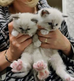 Stunning Ragdoll kitten boys