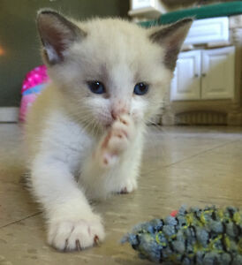 Beautiful blue eyed snowshoe kittens need forever homes Peterborough Peterborough Area image 1