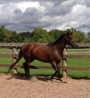 16.2 Bay Thoroughbred Mare
