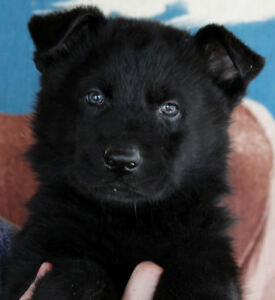 RARE PUREBRED BLACK GERMAN SHEPHERD PUPPIES