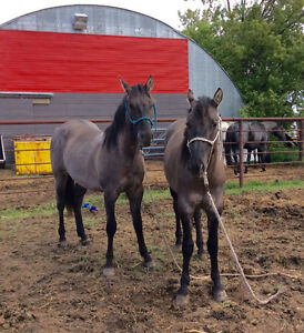 Two Registered Quarter Horse Grullo Stallions