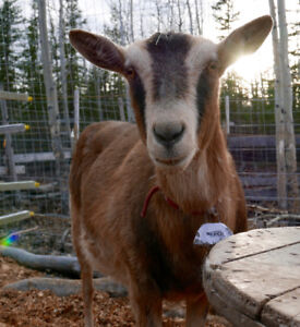 3yr old Alpine Dairy Goat for Sale