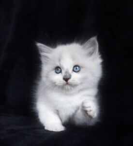 Lilac Ragdoll   kittens are available for their   new homes