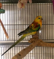 Pair of yellow red rump parakeets