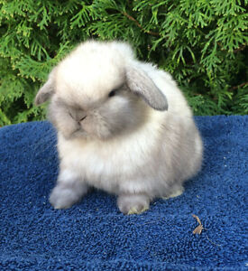 Adorable Small Holland Lop Baby Bunny