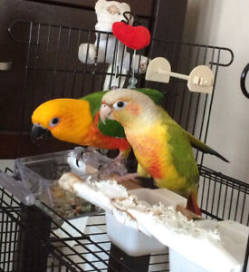 Jenday Conure and Pineapple Conure