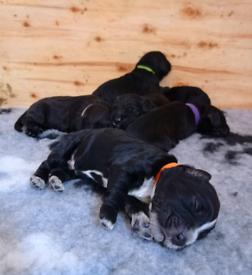 Cocker spaniel kc registered pups