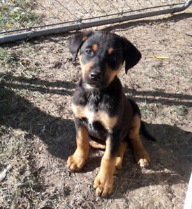 Doberman | Adopt Dogs & Puppies Locally in Ontario | Kijiji
