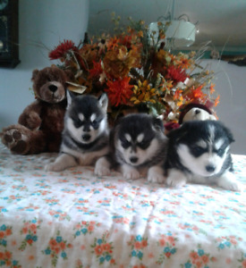 Six Beautiful Siberian  Husky Puppies Looking for Forever Homes
