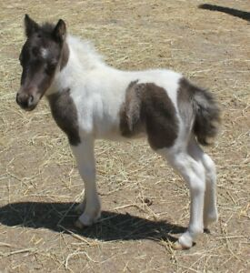Trés petits bébés chevaux miniature super docile, enr. en main