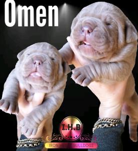 Southern Cross Bulldog puppies