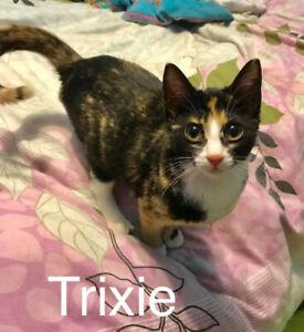 Winnipeg Kitten Adoption - Adopt Trixie