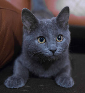 Looking for russian blue kitty