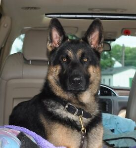 German Shepherd Puppies CKC registered