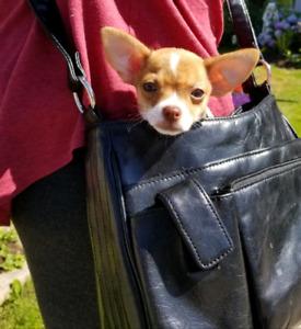 ♡♧◇4 Cute Little Purse Puppies (Chihuahuas)♡♧◇