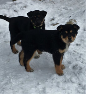 Rottweiler Kijiji In British Columbia Buy Sell Save With
