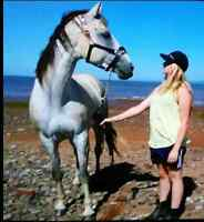 16hh Thoroughbred Mare for sale