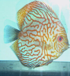 5 Healthy Discus for Sale