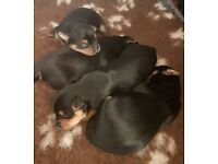Beautiful Yorkshire terrier puppies ready in july