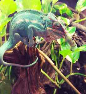 Blue Panther Chameleon and terraniums