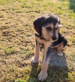 Ruff coated beagle