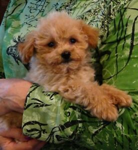 We have 1 MALE Bichonpoo puppy left