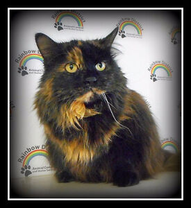 BIG,GORGEOUS, LONG-HAIRED TORTI  -- Fixed -- @ Small Things